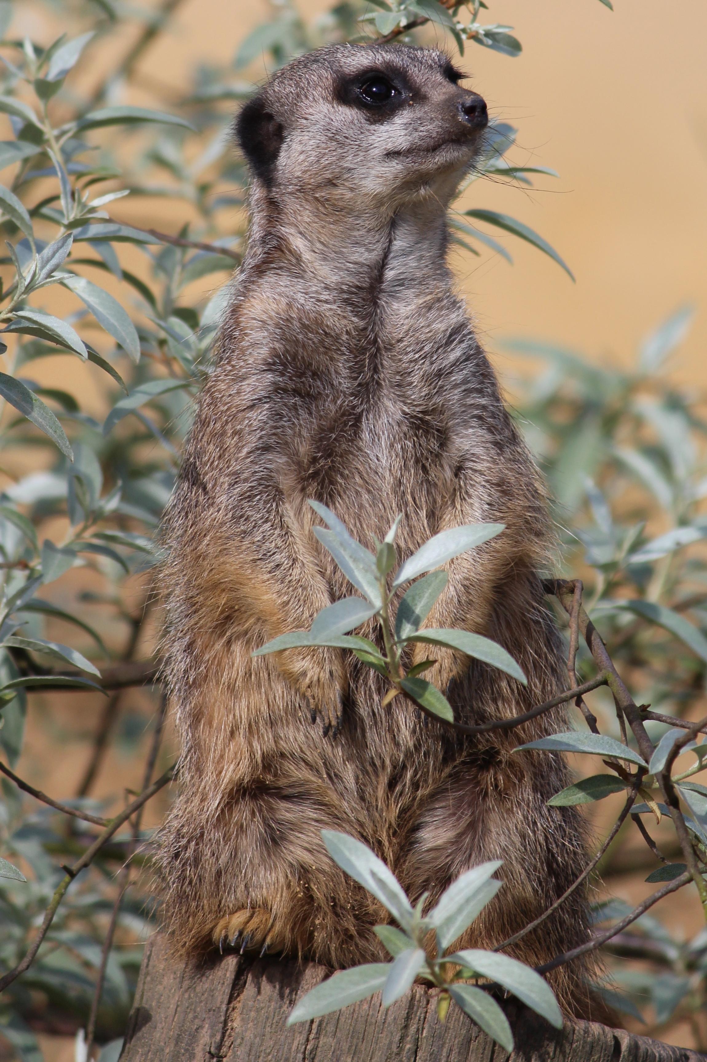 meerkat-hainault-forest
