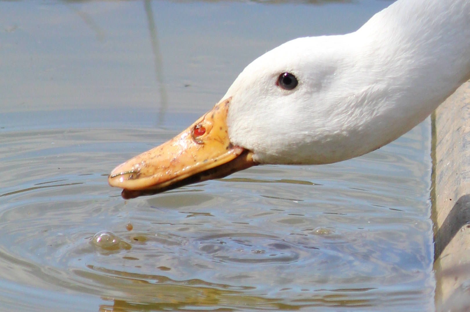 duck-hainault-forest