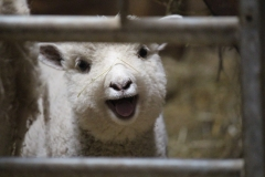 lamb-wellieson