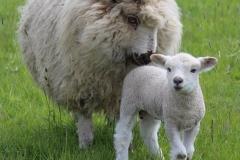 lambs-wellieson