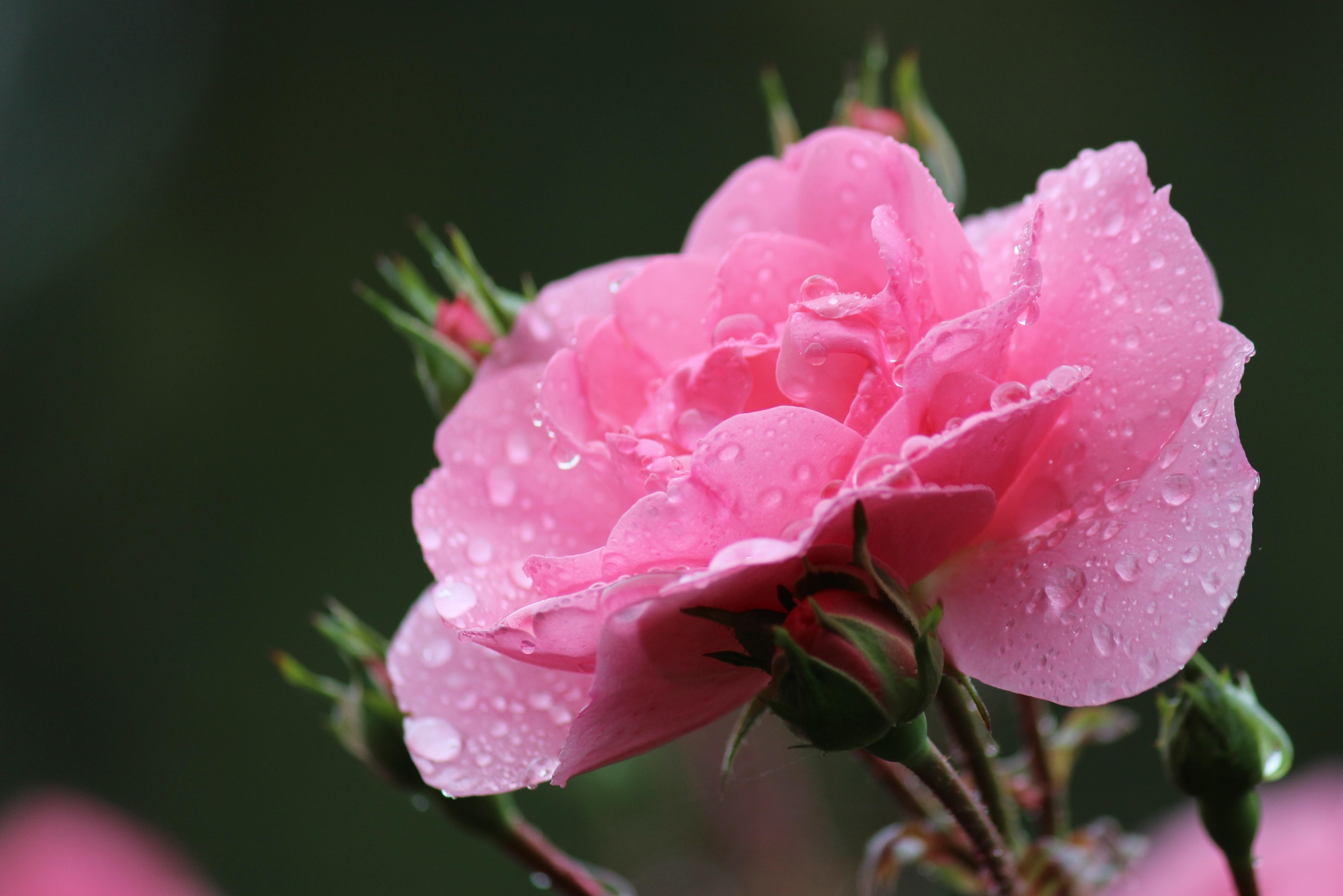 pin-rose-dew