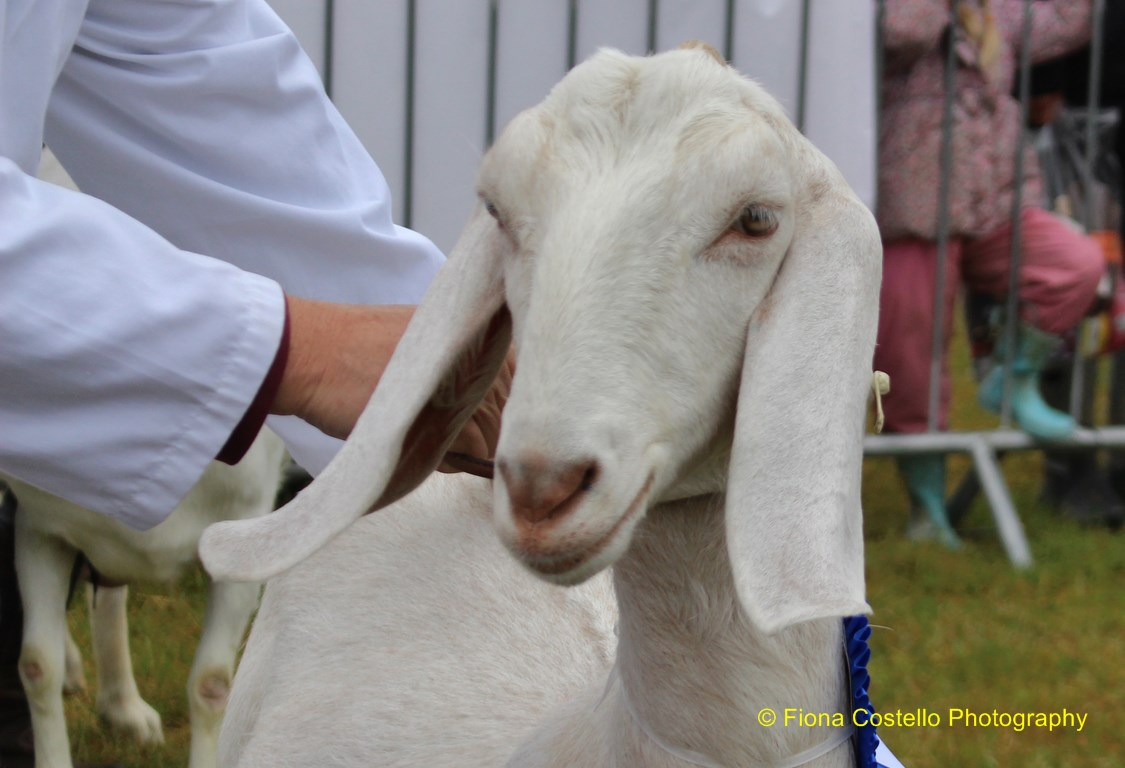 white-nubian-goat