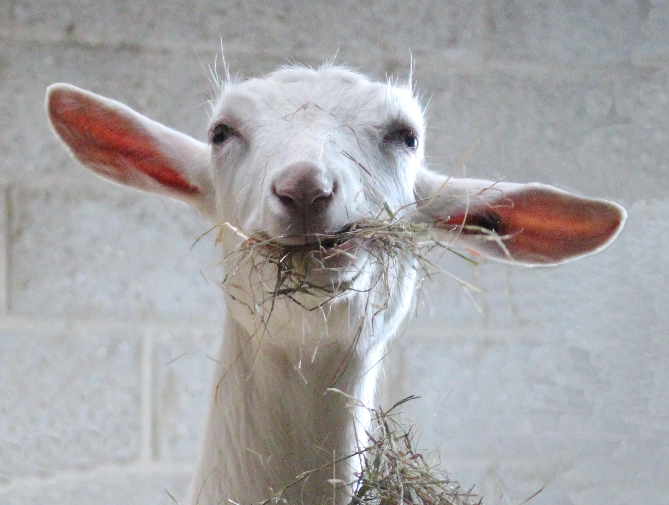 kid-saanen-goat