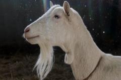 saanen-goat