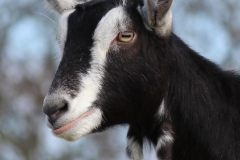 british-alpine-goat