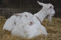 saanen-goats