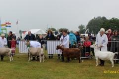 show-goats
