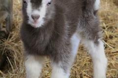toggenburg-kid-goat