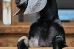 nubian-goat