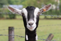 british-alpine-goat